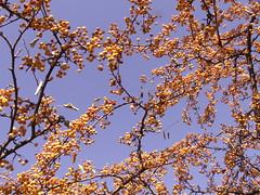 yellow chokeberries (Mamluke) Tags: tree minnesota yellow jaune berries branches minneapolis boom amarillo gelb giallo rbol albero geel arbre baum lakeharriet minneapolisminnesota chokeberries mamluke