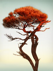 desert flame (liam.jon_d) Tags: trees plants art alberi wow landscape botanical artwork flora native saveme3 deleteme10 south australian australia paisaje arbres views botanic species local sa australien wilderness mybest paysage society landschaft southaustralia campaign bume postproduction rboles 1000 paesaggio indigenous myall 1000views tws locally canonpowershotpro1 australische australiens cotcmostfavorited   wildernesssociety  delsur  views1000 australianos laustralie dusud  australiani abigfave billdoyle thewildernesssociety  laustralia mytopforty sdaustralien delsud