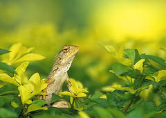 garden lizard (wildlens) Tags: wild india colour nature asian nikon asia searchthebest natural reptile wildlife indian  colourful gujarat jadeja 70300g manjeet specnature specanimal animalkingdomelite yograj ourfavourites manjeetyograjjadeja