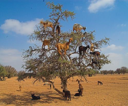 козы пасутся на деревьях