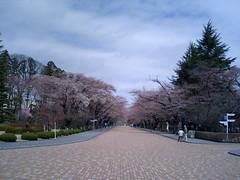 桜 in 日大工学部