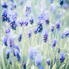 Wollerton Grape Hyacinth (photoart33) Tags: blue green soft pastel spring square grapehyacinth muscari purple highkey