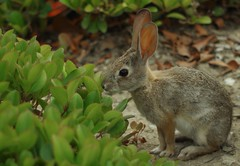 Stop and Smell the Roses, then Eat Them (Joe Son Nguyen) Tags: sears sekor 55mm 14 cotton tail rabbit smell