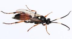 Ichneumon minutorius female (Ichneumonidae) (Renko Usami) Tags: ichneumonidae ichneumoninae ichneumonini ichneumon minutorius