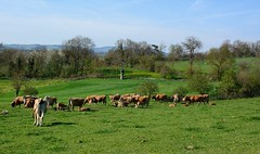 Haute-Rivoire (Rhône) (Cletus Awreetus) Tags: france montsdulyonnais rhône hauterivoire agriculture élevage bovin aubrac vache animaldomestique animal paysage printemps pré pâturage troupeau arbre veau