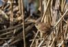 9Q6A9609 (2) (Alinbidford) Tags: alancurtis alinbidford brandonmarsh nature wildbirds wildlife wren