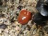 Actinia fragacea (Merintia) Tags: campo26102017 playa canallave liencres actiniafragacea tomatedemar
