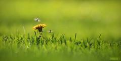 Taraxacum officinale (Erdei Zoltán) Tags: flower taraxacum officinale bugs bug bogarak gyermekláncfű pitypang sárga zöld tavasz spring green yellow grass magnoliophyta fészkesvirágzatúak nikon nikond3200 d3200 decs zoltán erdei
