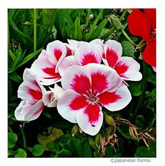 (nothing but ) flowers • 1 (japanese forms) Tags: ©japaneseforms2018 日本フォーム 花 nothingbutflowers bloem blomma blomst blume blumen colour colours farbe farben fiore flùr fleur flor flower flowers kleur kleuren natur nature natuur talkingheads red rote rood rouge czerwony rosso