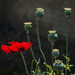 Poppies  (1 of 6)