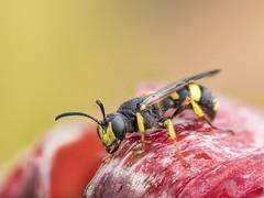 2018-06-30 08-53-33 (C) (turbok) Tags: insekten tiere wespen c kurt krimberger