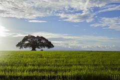 En medio de la Soledad (Tato Avila) Tags: colombia colores cálido cielos campo arboles vida naturaleza nikon nubes cielo sky colombiamundomágico pasto cultivo sol paisaje