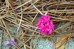Grounded Crape Myrtle Blossoms. (dccradio) Tags: lumberton nc northcarolina robesoncounty outdoor outdoors outside pinestraw flower floral flowers bloom blossom blossoms pink crapemyrtle crepemyrtle cement concrete purple lavender blowndown fallen grounded nikon d40 dslr