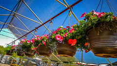 Hanging Petunias (oldhiker111) Tags: petunias hanging red nursery