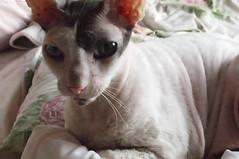 Max II (edenpictures) Tags: max cat cornishrex