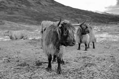 Bò Ghàidhealach (Heilan Coo), Isle of Skye, Scotland (Mono version)  -  (Selected by GETTY IMAGES) (DESPITE STRAIGHT LINES) Tags: getty gettyimages heilancoo highlandcow highlandcows kyloe cow cattle heilancoosinscotland highlandcattleinscotland horns day cloud landscape nikon d800 nikond800 nikon2470mm nikkor2470mm paulwilliams despitestraightlines flickr highlands scottishhighlands boghaidhealach brindled fur grass field pasture farm farming hoof hooves dof photo photography frame raw image animal sconser luib lochainort isleofskye lochsligachan lochcairidh