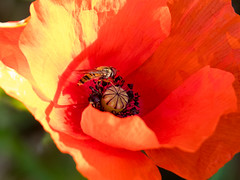Poppy and Hoverfly (Andy Sut) Tags: nature flowers flora petals lumix andysutton bridgecamera amateur