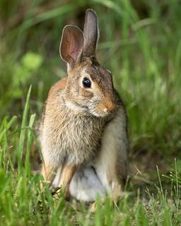 Wary Wild Rabbit