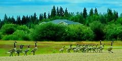 """Stepping out (peggyhr) Tags: peggyhr geese """"bluebird estates """" alberta canada dsc07136ab canadageese level1pfr carolinasfarmfriends thegalaxy thegalaxystars"""