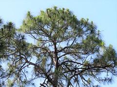 Pinus elliottii --  Slash Pine Tree 7306 (Tangled Bank) Tags: yamato coastal scrub forest remnant palm beach county florida wild nature natural park area preserve plant flora botany pinus elliottii slash pine tree 7308