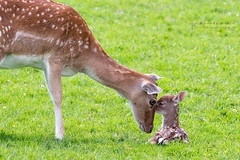 A Mother's Love (RichardBeech) Tags: deer fallowdeer damadama fawn young baby mother child love parent wild wildlife wildlifewednesday nature animal mammal outdoor field meadow eyetoeye caring canon canon5dmarkiii canon100400mm dorset dorsetwildlife purbeck wareham