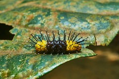 Moth Caterpillar (Zygaenidae), Singapore (singaporebugtracker) Tags: singaporebugtracker caterpillar spiky zygaenidae yellow pincushion needles acupuncture pins dentalpicks cocktalpicks toothpicks prickly nettlecaterpillar
