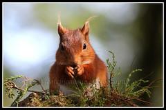 IMG_0158 Red Squirrel (Scotchjohnnie) Tags: redsquirrel sciurusvulgaris squirrel squirrelphotography mammal rodent nature naturephotography naturewildlifeandbirds wildlife wildlifephotography wildanimal wildandfree canon canoneos canon7dmkii canonef100400f4556lisiiusm scotchjohnnie