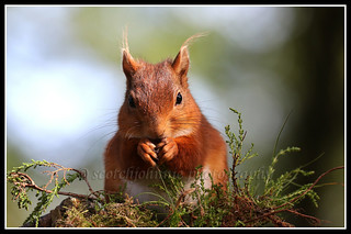 IMG_0158 Red Squirrel