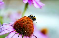 on top.............. (atsjebosma) Tags: flower bee bloem bij echinacea zonnehoed summer zomer nature natuur atsjebosma groningen thenetherlands nienoord leek landgoed countryestate july juli