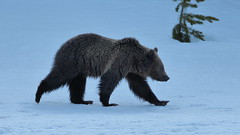 Grizzly Bear cub (Hammerchewer) Tags: grizzlybear cub bear animal wildlife outdoor yellowstone