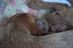puppies  25-06-18 1 (Speedymax) Tags: hungarianvizsla hungarianviszla dog puppy puppies