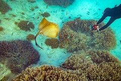Heron Island Snorkel Underwater-15 (Quick Shot Photos) Tags: aquatechimagingsolutions canon canoncollective heronisland padi queensland scuba underwater snorkel bogie australia au