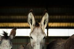 Mustang and Burro Adoption (Jen MacNeill) Tags: burro donkey wild horses blm adoption