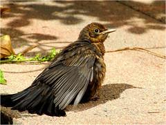 blackbird........ (atsjebosma) Tags: blackbird merel garden tuin atsjebosma vogel sunlight june juni 2016 groningen thenetherlands nederland