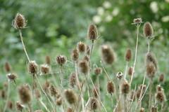 Teasel Excitement (John of Witney) Tags: teazle teasel plant flower seedhead reading berkshire