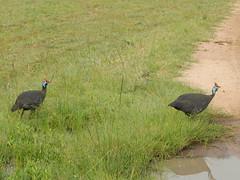 Two Helmeted Guinea Fowl in the Masai Mara Kenya (jeaniephelan) Tags: birdsofthemasaimara bird africanbird