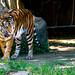 Guntur, Male Sumatran Tiger of Yokohama Zoological Gardens : スマトラトラのガンター(よこはま動物園ズーラシア)