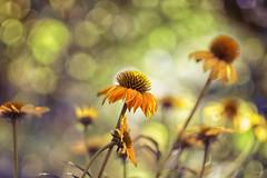 summer.song II (_andrea-) Tags: sonya7m2 carlzeiss objektiv manualfocus mount planart1450 echinacea yellow love bokeh bubbles bokehshots bokehjunkie bokehs beautifulshot flowers nature outdoor