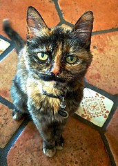 Tortie Cat Patterns & Textures (Chic Bee) Tags: tortiecat patterns textures missruth adopted hermitage tucson arizona usa
