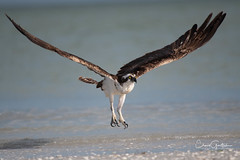 Rising (craig goettsch) Tags: sanibel2018 osprey birdofprey raptor avian wildlife nature nikon d850