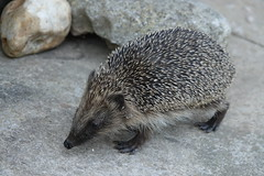 hedgehog DSC04430 (rowchester) Tags: hedgehog bristles prickles