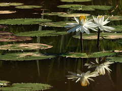 Which end up? (Tim Brown's Pictures) Tags: nationalparkservice kenilworthaquaticgarden aquaticplants washingtondc blossom flower waterlilies waterlily mirrorreflection reflection washington dc unitedstates