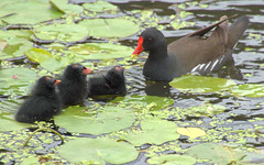 cute baby Moorhen picture (Tony Worrall) Tags: preston lancs lancashire city welovethenorth nw northwest update place location uk england north visit area attraction open stream tour country item greatbritain britain english british gb capture buy stock sell sale outside outdoors caught photo shoot shot picture captured nature natural birds moorhen baby chick small cute beauty green lilly pad weeds mother family wildlife