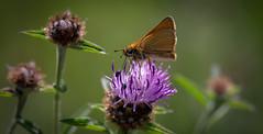 Small Skipper- Thymelicus sylvestris (neil 36) Tags: small skipper thymelicus sylvestris insect nature wildlife closeup