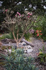 Opuntia in Bloom (johnscratchley) Tags: flora gardens drought tolerant climate change nature opuntia plants lightroom