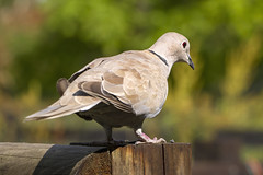 Eurasian Collared Dove (Kev Gregory (General)) Tags: animal avian baby background beak beautiful bird black brick brown cape chick closeup common daily dish dove ecology eurasian european fauna fawn feathers fledgling green grey home natural nature neck necked outdoor peace perch pigeon ring ringnecked ringneckeddove seeds sunflower tree trust turtle turtledove visitor watching white wild wildlife young yard