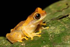 Hourglass tree frog (Dendropsophus ebraccatus) (edward.evans) Tags: hourglasstreefrog treefrog frog amphibian rana dendropsophus ebraccatus dendropsophusebraccatus herp herping chilamate sarapiqui costarica wildlife nature