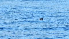 A grey seal with a fish in its mouth in Stockholm (Franz Airiman) Tags: halichoerusgrypus säl seal gråsäl greyseal grayseal djur animal saltsjön stockholm sweden scandinavia wild vild kvarnholmen sälis sälx