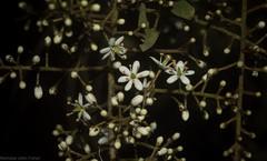 Blackthorn (dustaway) Tags: pittosporaceae bursariaspinosa blackthorn sweetbursaria australianshrubs australianplants australianflora australianflowers whiteflowers inflorescence moonem bungawalbincatchment richmondvalley northernrivers nsw nature australia