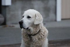 Getting old (ohmil) Tags: pet dog old golden retriever